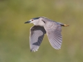Adalem, EfrenBlack-crowned Night Heron, Harkins Slough