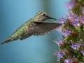 Jeff Bleam Anna's Hummingbird