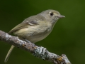 Jeff Bleam Hutton's Vireo