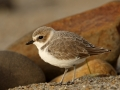 Larry Selman-Scott Creek Snowy Plover Rock8