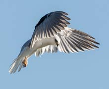 White-tailed-Kite---Jeff-Bleam-o